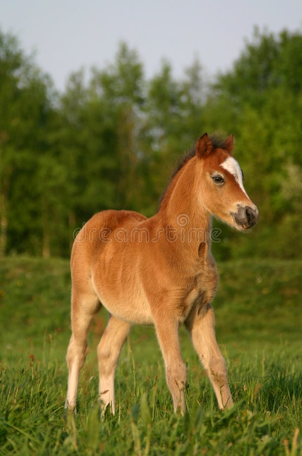 Brown welsh pony foal royalty free stock photos