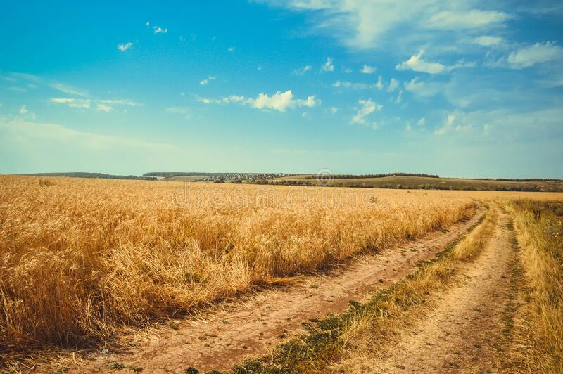 Brown Wheat Field Under White Clouds Blue Sky royalty free stock image