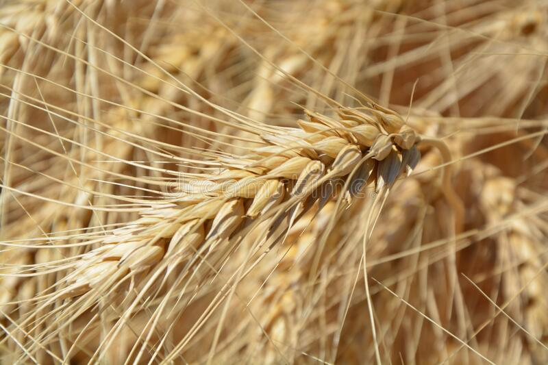 Brown Wheat Plant Free Public Domain Cc0 Image
