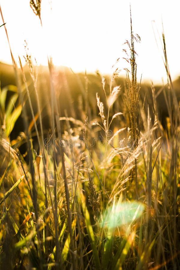 Brown Wheat With Sunrays Effect stock photography