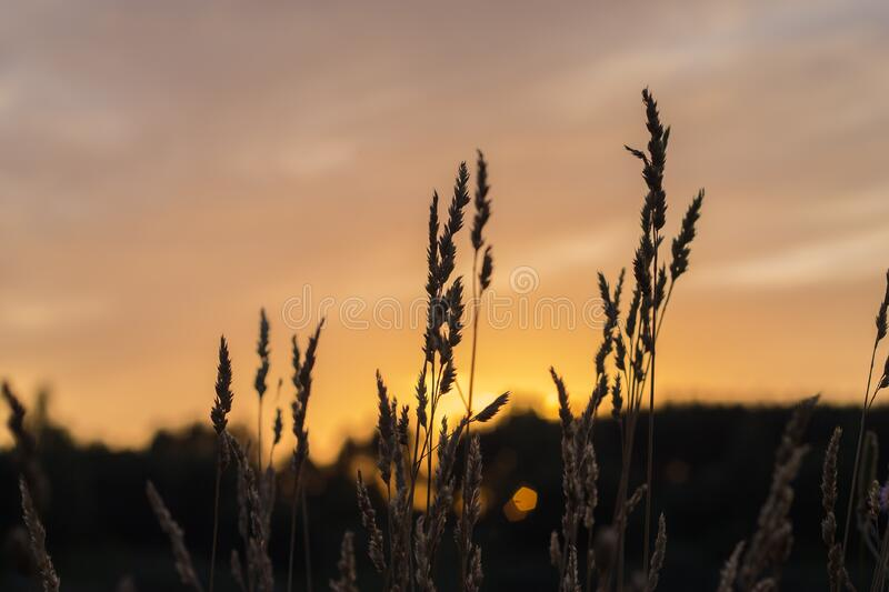 Brown Wheat During Sunset Free Public Domain Cc0 Image