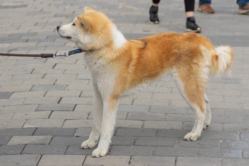 Brown and white Akita inu dog on a leash on a central street of Dnirpo city. Ukraine stock photos