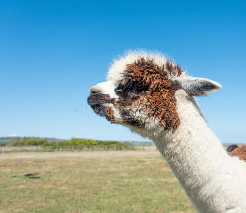 Brown and White Alpaca royalty free stock image