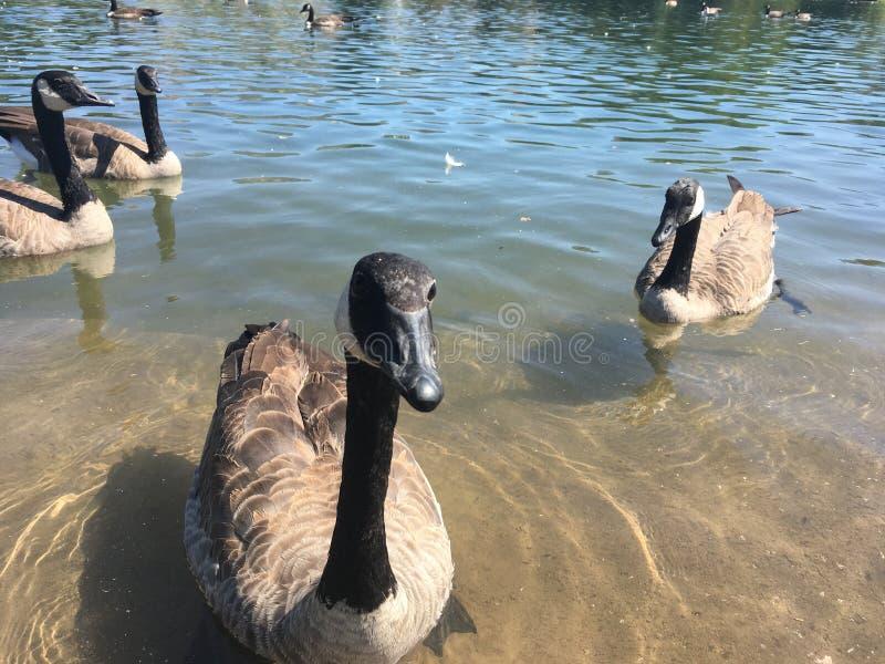 Canada Goose looking at the camera, Sugar House Park, Salt Lake City, Utah, United States. Brown, white and black Canada Goose in the lake, looking at the camera stock photography
