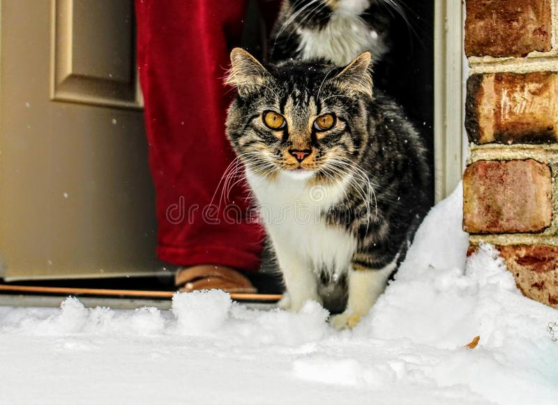 Brown, White and Black Maine Coon Cat in Front of Gray Wooden Door stock photo