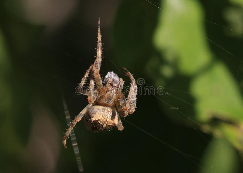 Download Brown White And Black Spider Stock Image - Image: 27481305