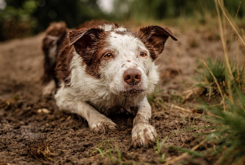 Brown and white border collie covered in dirt and mud while herding stock image