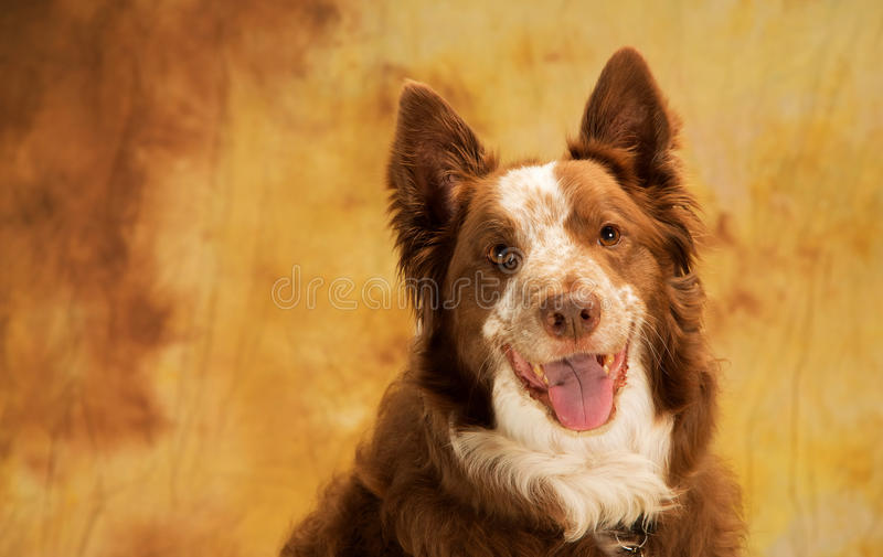 Brown and white border collie head shot royalty free stock images