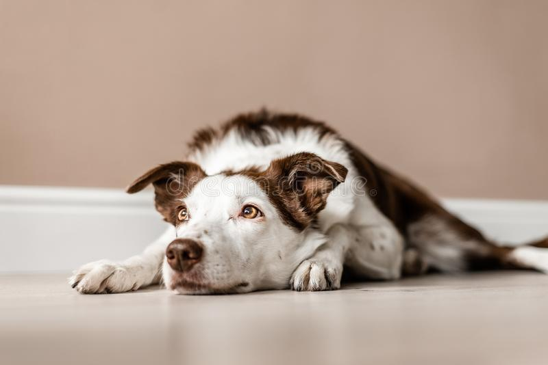 Brown and white border collie lays on the floor, looking up and away from the camera stock images