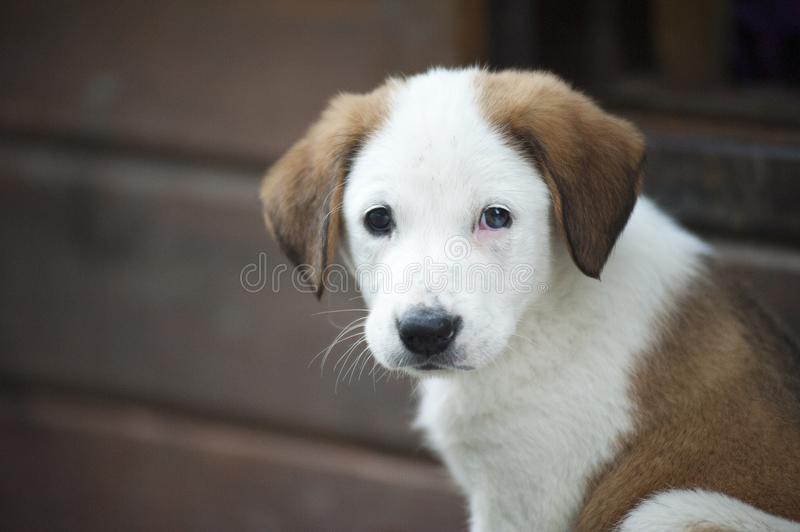 Brown and White Border Collie Mix Puppy royalty free stock image