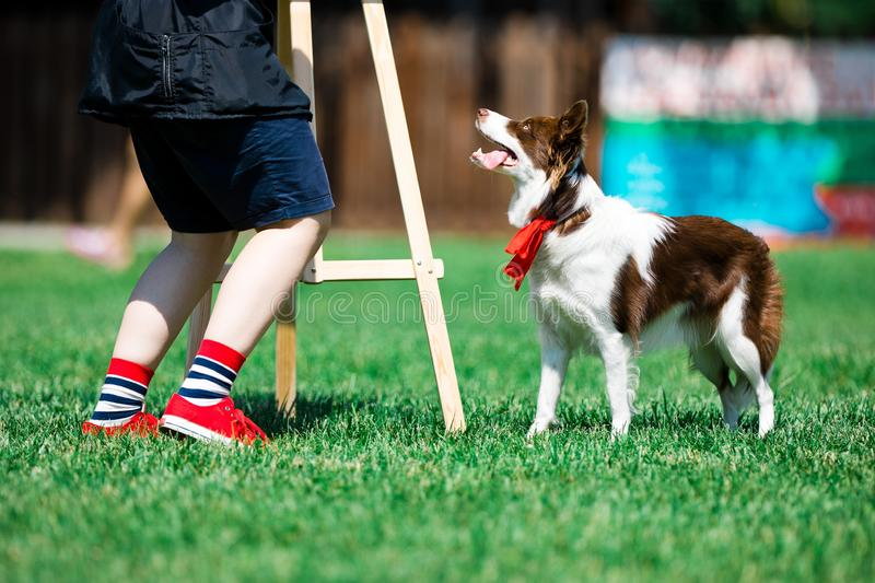 Brown and white border collie during obedience training stock images