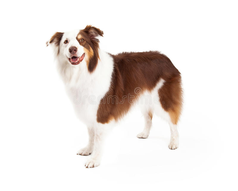Brown and White Border Collie Standing royalty free stock photo