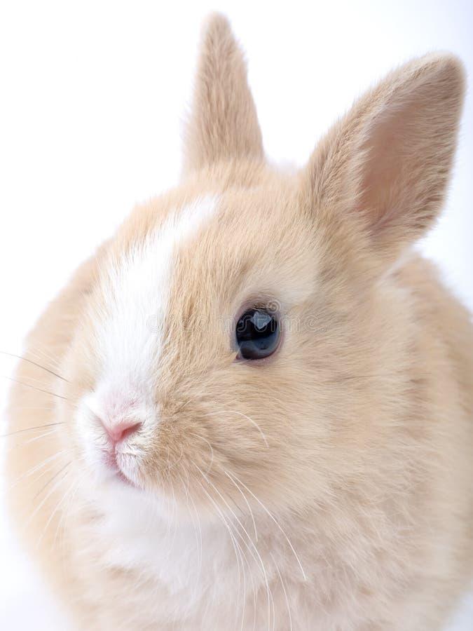 Free Brown-white Bunny Royalty Free Stock Photos - 2487068