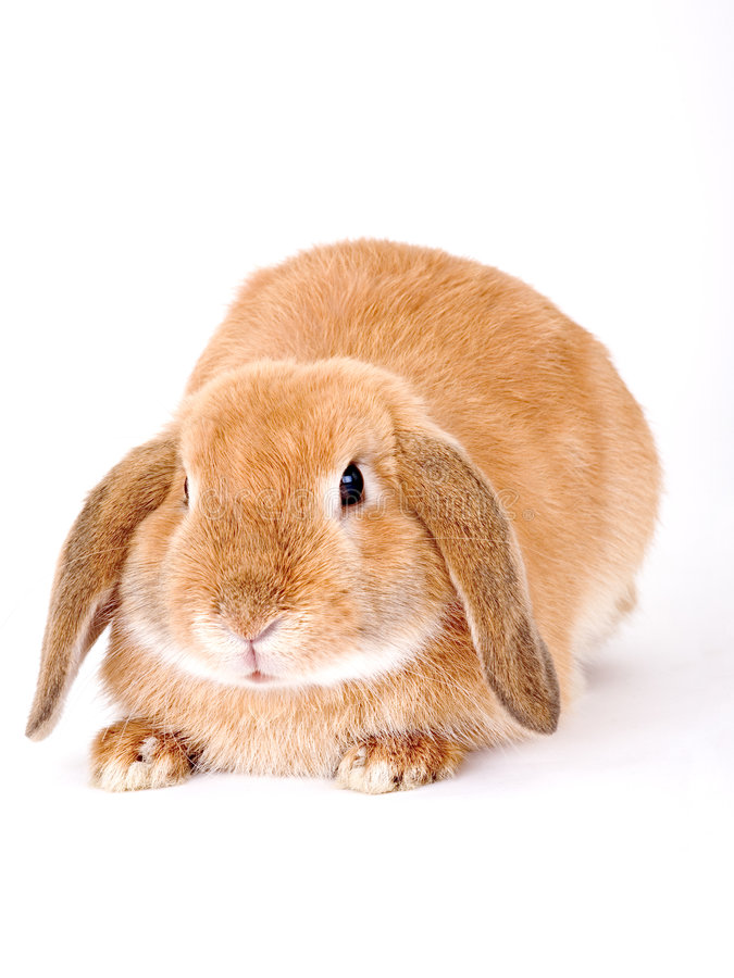 Free Brown-white Bunny Royalty Free Stock Image - 3190606