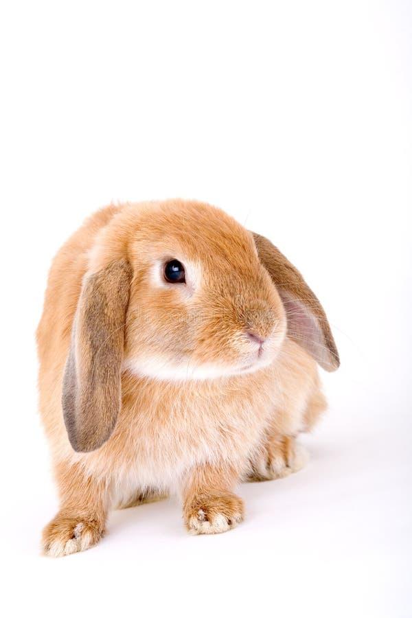 Free Brown-white Bunny Stock Photos - 3190623
