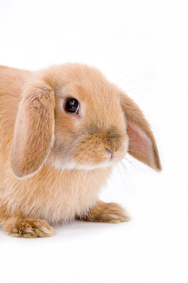 Free Brown-white Bunny, Isolated Stock Photography - 2507242