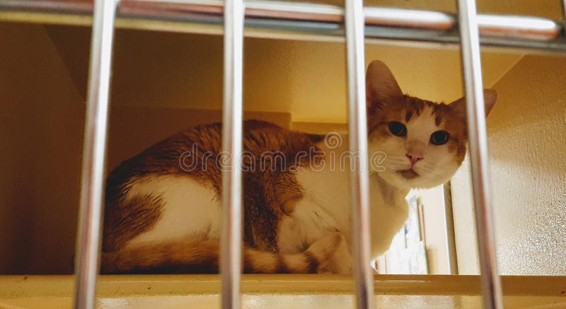 A brown and white cat sits in a cage at a pet store with silver metal bars in the foreground. Cat is for adoption royalty free stock images