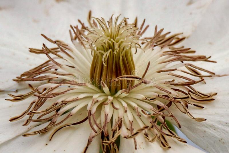 Brown and White Clematis Flower macro royalty free stock image