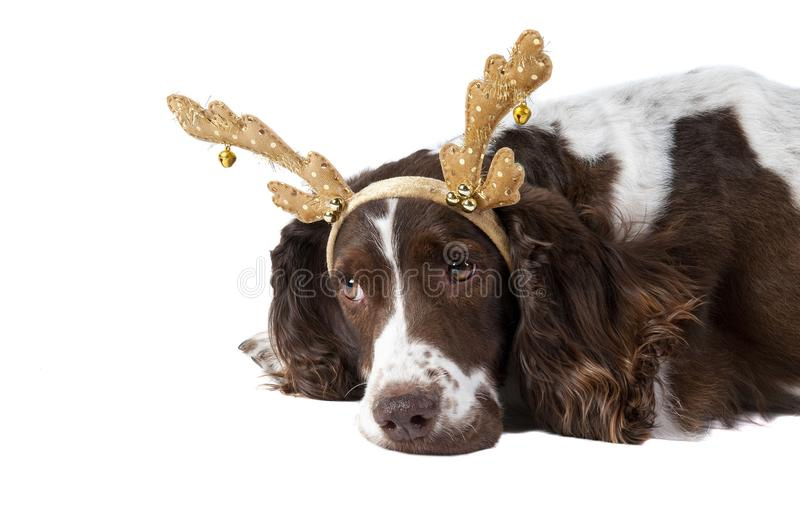Brown and White Cocker Spaniel dog with Holiday Reindeer Antlers. Cute Brown and white Cocker Spaniel dog wearing Christmas Holiday Reindeer Antlers looking sad royalty free stock image
