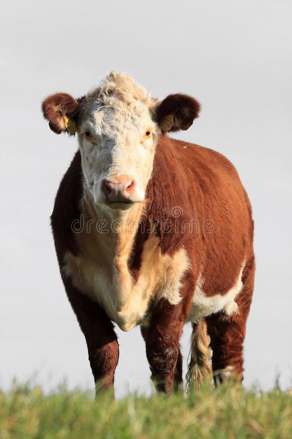 Download Brown white cow stock photo. Image of outside, profile - 6946308
