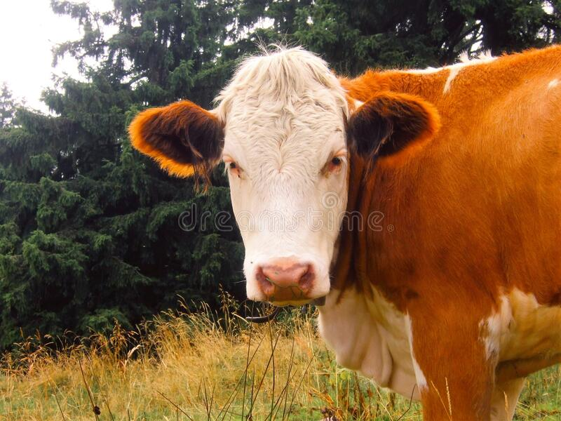 Brown And White Cow Free Public Domain Cc0 Image