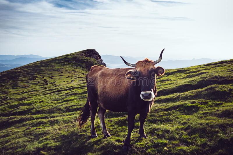 Brown And White Cow On Green Grass Field Free Public Domain Cc0 Image