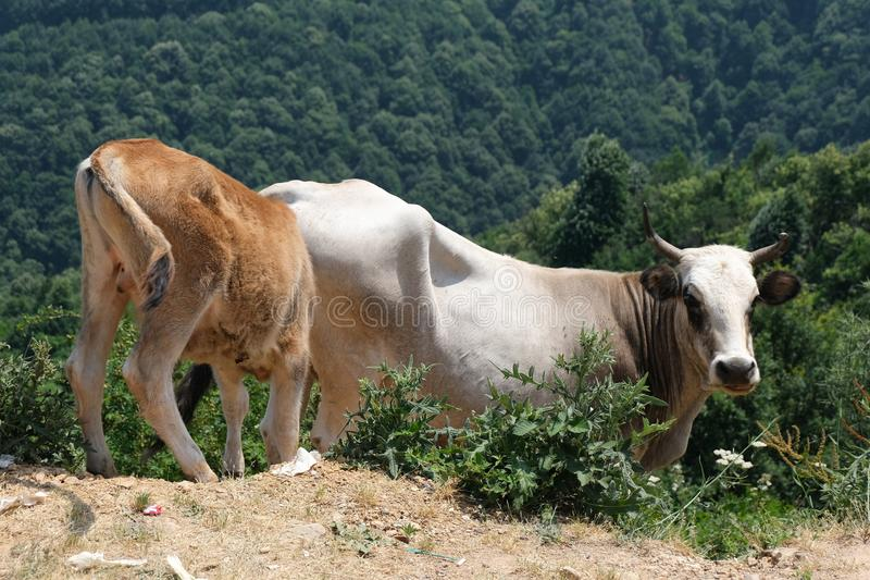 A brown and a white cow in the high grass. Yalova turkey royalty free stock photo