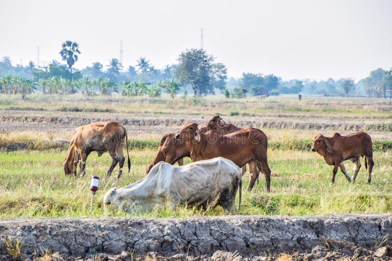 Brown and white Cows eating green grass in the middle of the rice fields in rural Thailand. Dry rice fields after harvesting rice in summer season agriculture royalty free stock photo