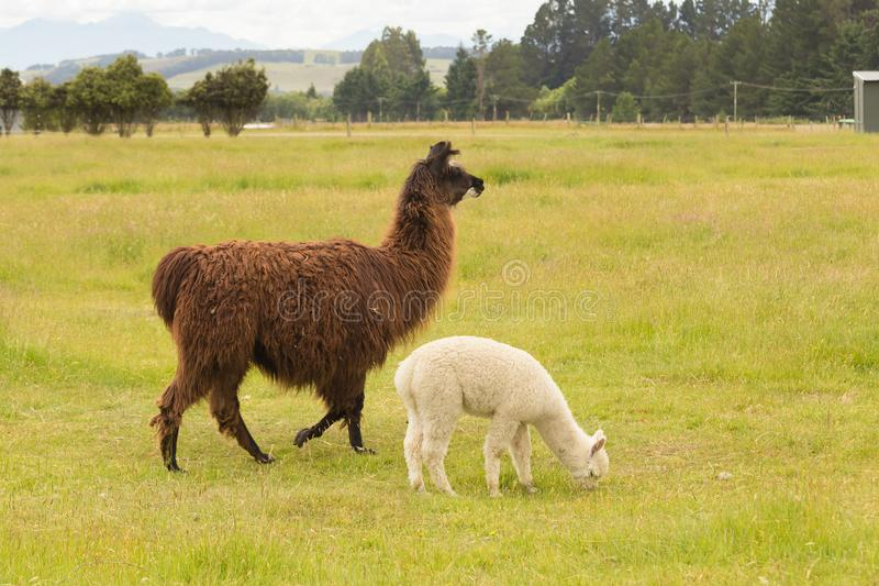 Brown and White cute baby alpaca royalty free stock photos