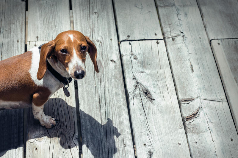 Brown and white dachshund outside on a wooden porch. Still life stock photography