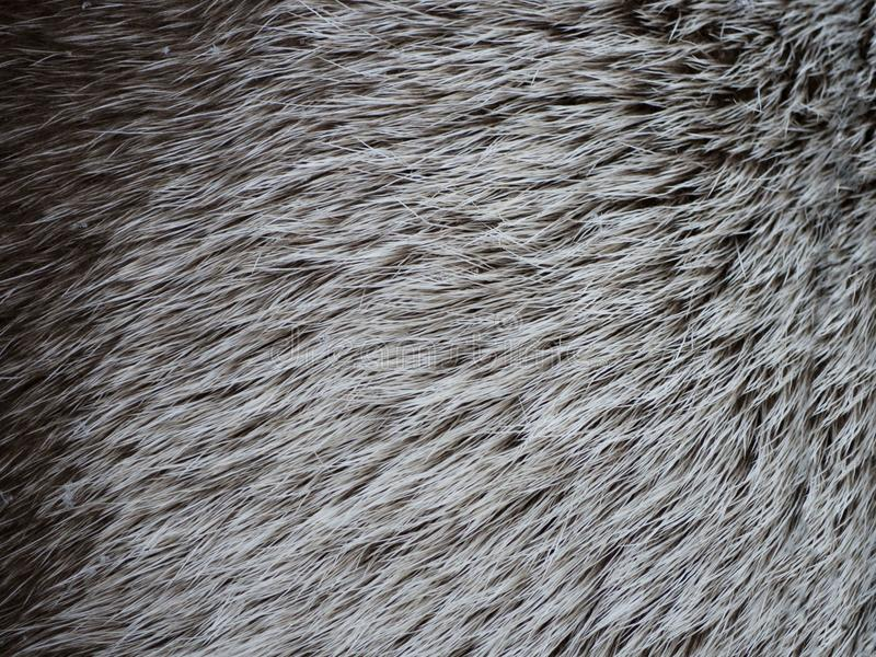 Brown white deer hair texture background. Line wool floor with white light stock images