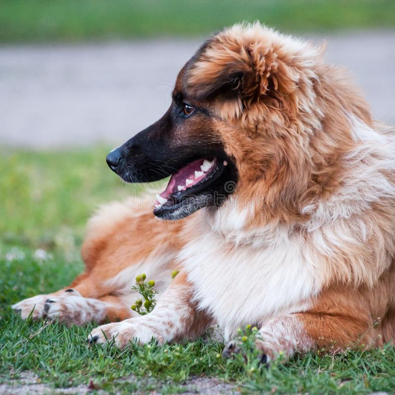 Brown and white dog lying on grass, looking left stock images