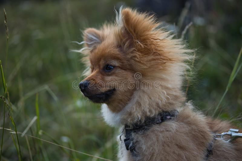 Brown and white dog sitting in the grass stock photography