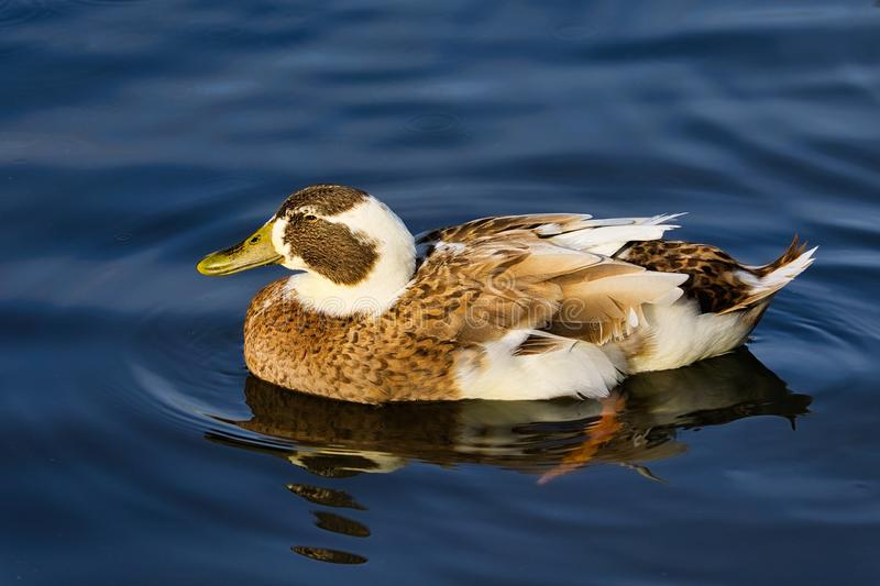 Soft Brown and White Duck Swimming. Brown and white duck with reflections swimming in calm blue water stock photos