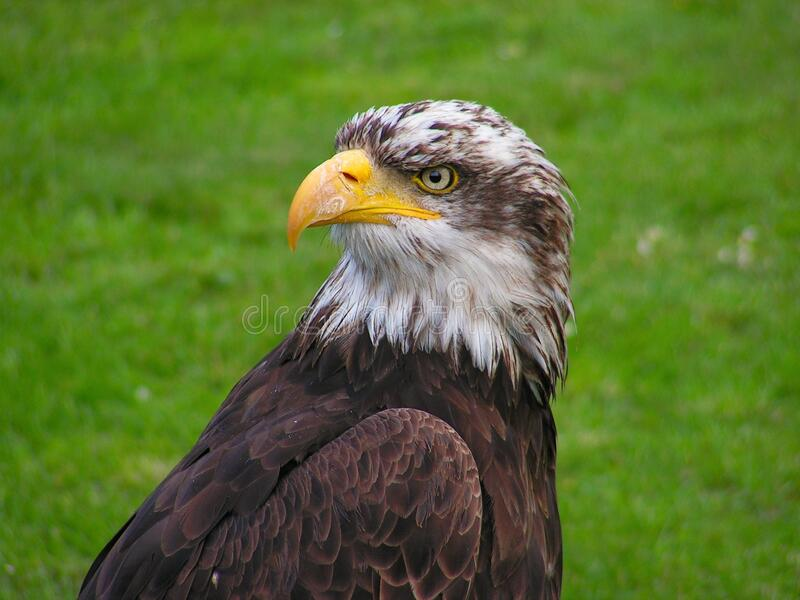 Brown And White Eagle Free Public Domain Cc0 Image