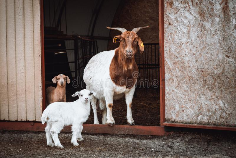 Brown and white goat family. Mother goat standing with small goat kids in front of their farmhouse stock photography