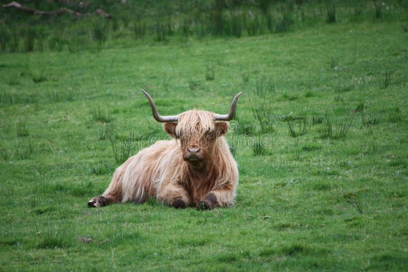 Brown and White Highland Cattle royalty free stock images