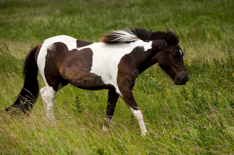 A brown white horse. A wild brown and white horse in the grass stock photography