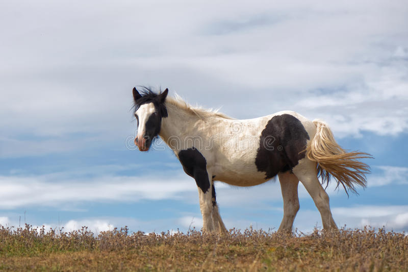 Brown and White Horse with Blue Sky. A portraIt of a brown and white horse (cob) swishes his tail and a windswept plain, backed by fluffy clouds on a blue sky royalty free stock photography