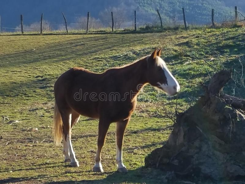 Brown and white horse early morning in barn yard. Beautiful brown and white horse early in the morning royalty free stock images