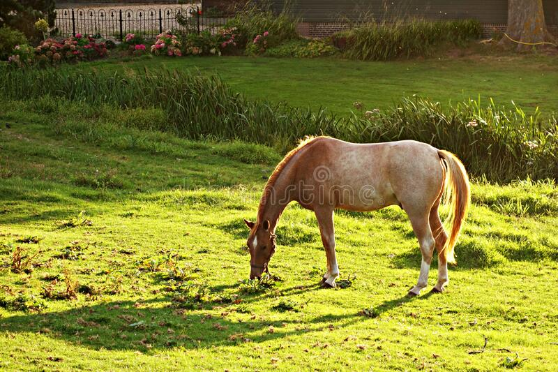 Brown and White Horse Eating Green Grass during Daytime royalty free stock images