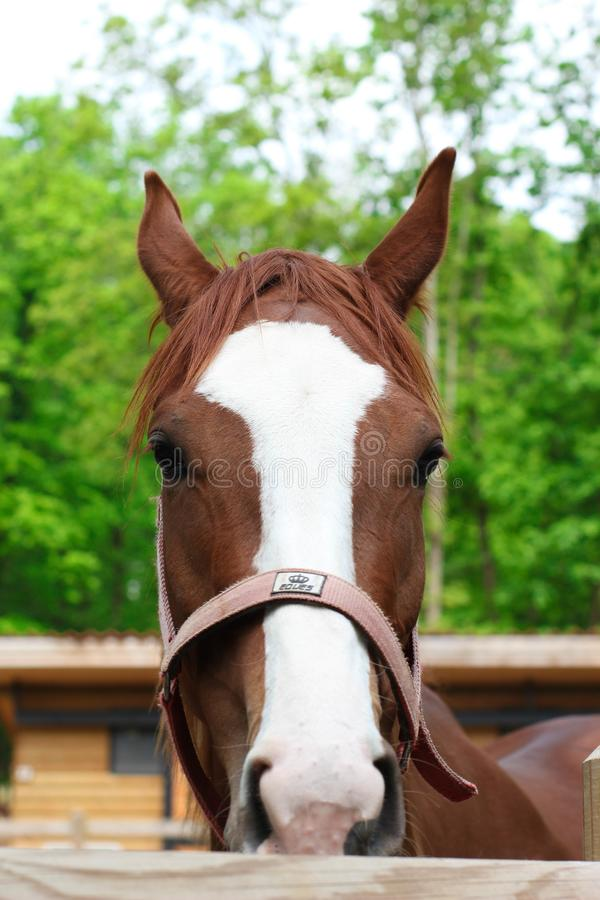 Brown and white horse in the farm stock photos