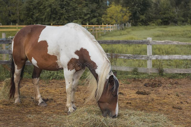 Brown and white horse feeding in pasture. Brown and white horse feeding in a pasture in royalty free stock image