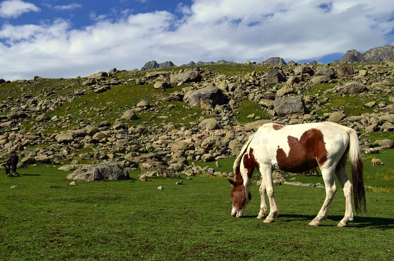 Horse grazing in a meadow. Brown & White horse grazing in the green meadows near Sonamarg on the Kashmir Great Lakes trek. Commercially known as Sonamarg stock images
