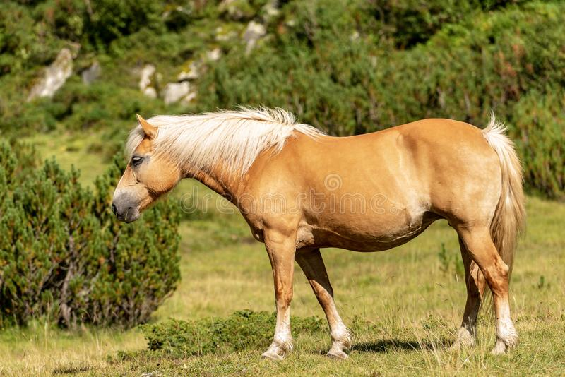 Brown and white horse in green alpine pasture royalty free stock photo
