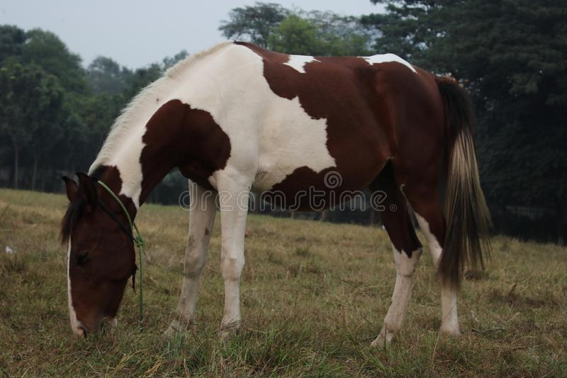 Brown white horse in open grass field eating grass royalty free stock photo