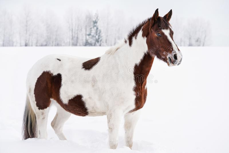 Brown and white horse standing in snow, winter landscape with blurred trees behind her.  royalty free stock photo