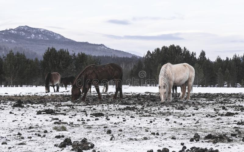 Horses eating frozen grass under snow royalty free stock image