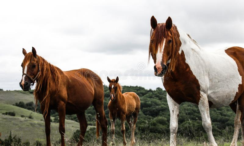 Brown and white horses in a field royalty free stock photos