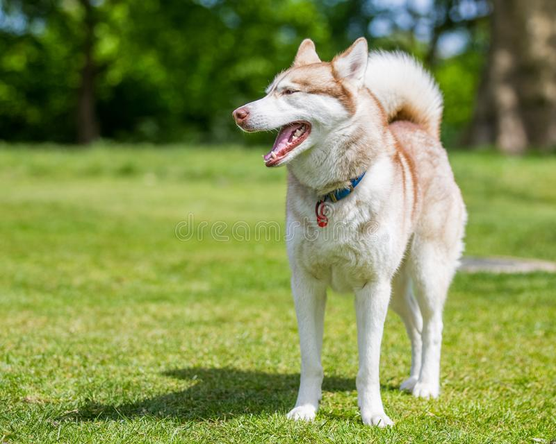 A Brown and white husky with blue eyes standing on grass. royalty free stock photography